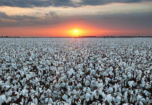 Cotton_Field.jpg