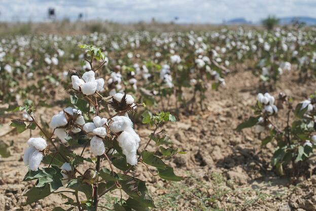 Cotton_Harvest.jpg